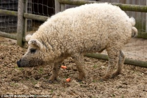 porco ove